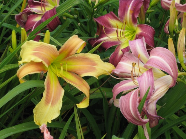 pink, orange and red daylilies
