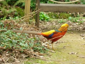 Pheasant at Abbotsbury Subtropical Gardens