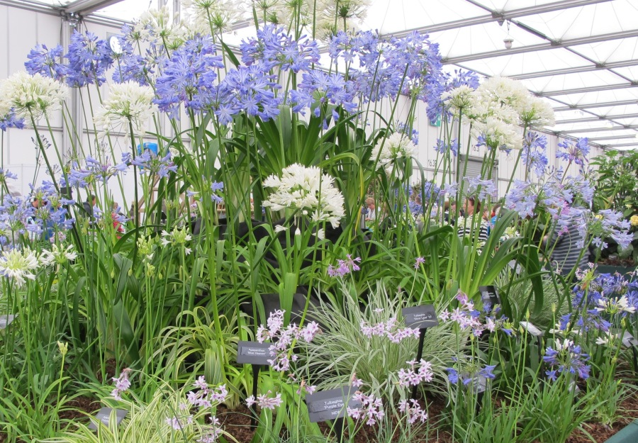 Agapanthus  National Collection holder Mr & Mrs Hickman