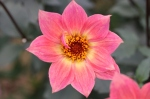 The most photographed flower, Dahlia 'Twynings Revel'