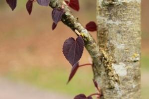 Cerciciphyllum japonicum 'Rotfuchs'