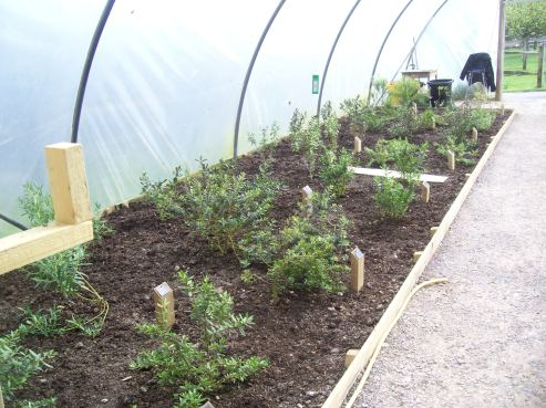 Young plants in a polytunnel