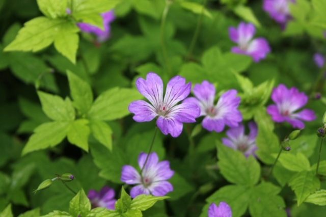 Geranium nodosum seedling on trial
