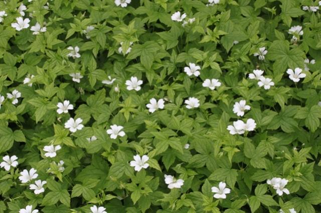 Geranium nodosum 'Silverwood' underplanting