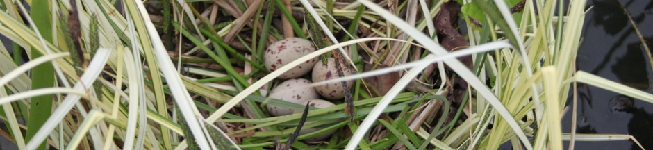 Moorhen eggs at the edge of the pond