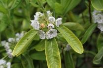Kalmia angustifolia var. angustifolia f. candida