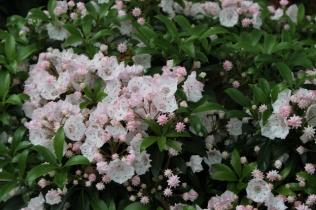 Kalmia latifolia f. myrtifolia 'Elf'