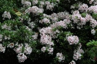 Kalmia latifolia f. myrtifolia