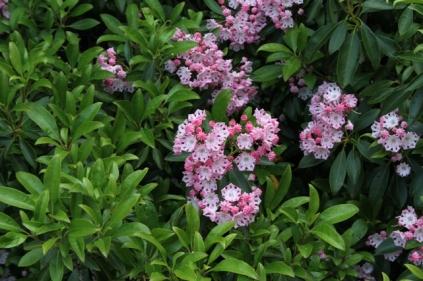 Kalmia latifolia 'Freckles'