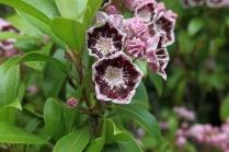 Kalmia latifolia 'Mitternacht' x 'Ginkona'