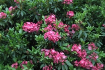 Kalmia latifolia 'Pink Surprise'