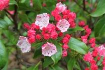 Kalmia latifolia 'Quinnipiac'
