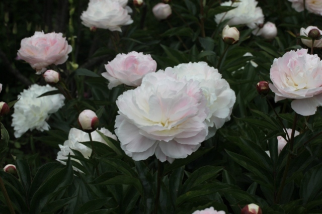 Peonies at Mottisfont