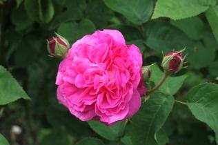 Rosa 'Baronne Prevost' HP 1842