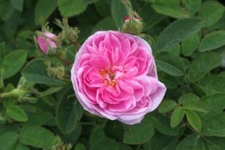 Rosa 'De Meaux'
