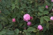 Rosa 'Hermosa' China 1840