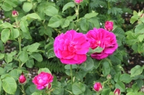 Rosa 'Le Havre'