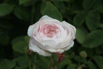 Rosa 'Mme Zoetmans' Dmask 1836