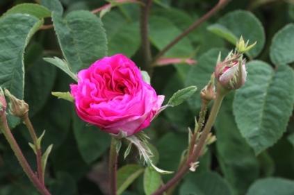 Rosa 'Oeillet Parfait' Damask 1841