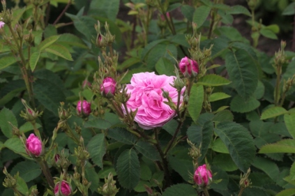 Rosa 'Petite de Hollands' Centifolia