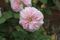 Rosa 'Souvenir de Mme Auguste Charles'
