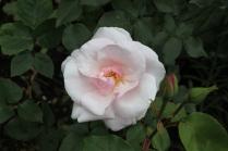 Rosa 'Souvenir de St Anne's' Bourbon Pre 1916