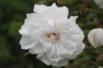 Rosa 'Stanwell Perpetual' 1838