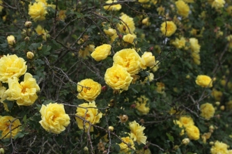 Rosa 'Williams' Double Yellow' Burnett 1823