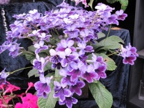 Streptocarpus 'Katie' from Dibleys, the most asked about plant on our membership display
