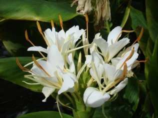 Hedychium chrysoleucum