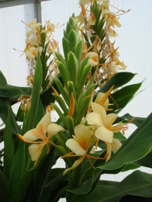 Hedychium 'Jungle Yellow'