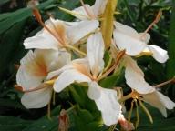 Hedychium 'Kinkaku'