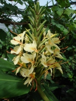 Hedychium 'Yellow Fever'