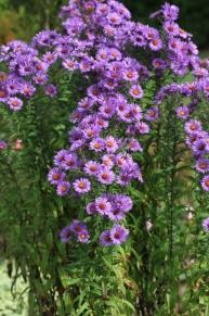 Aster novae-angliae 'Barr's Violet' clump