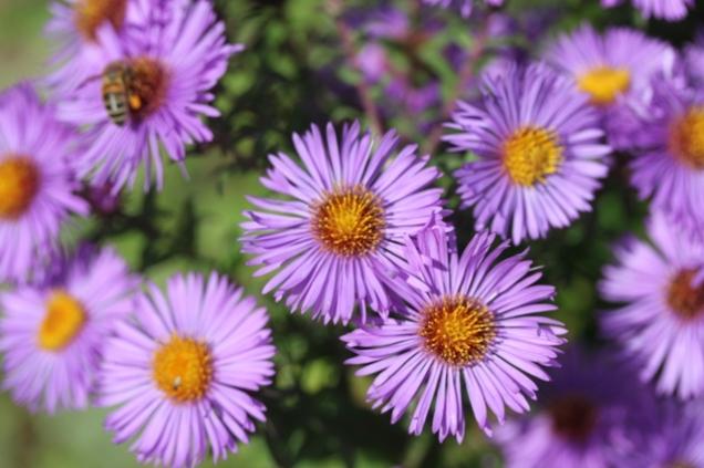 Aster novae-angliae 'Barr's Violet'