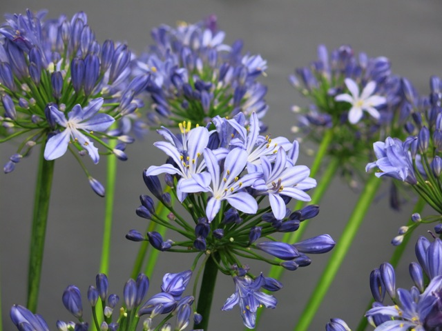 Agapanthus shown by Steve Hickman at RHS London Show