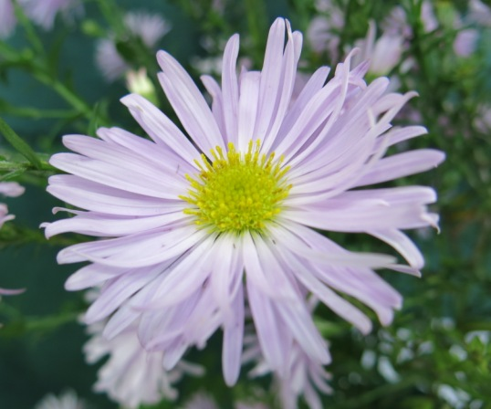 Aster 'Fellowship'  grown by G Goddard Plant Heritage London Group display