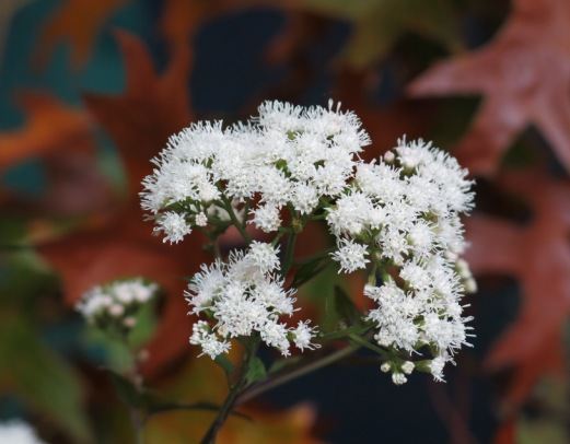 Ageratina altissima 'Chocolate' from Buckingham Palace Shown on Plant Heritage London group display