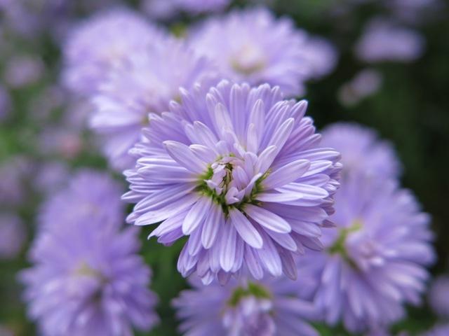 Aster 'Newstar Lavender'