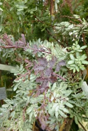Acacia baileyana 'Purpurea' (Collection Nationale d'Acacia)