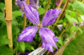 Clematis 'Tye Dye' (Collection Nationale de Clematis)