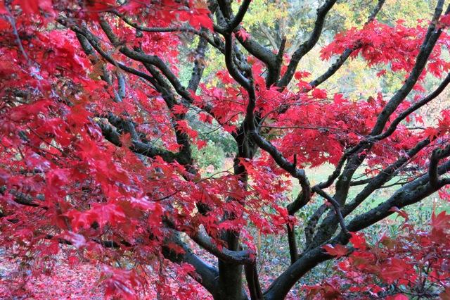 Acer palmatum 'Beni shigitatsu sawa'