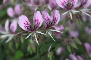 Pelargonium cordifolium var. rubrocinctum