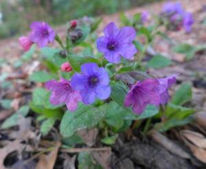 Pulmonaria 'Red Freckles' thriving at Wisley