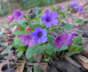 Pulmonaria 'Red Freckles' at Wisley 25Feb14