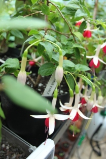 Fuchsia 'Annie Earle'