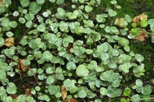 Fuchsia procumbens 'Variegata'