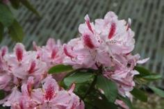 Rhododendron 'Furnivals Daugher'