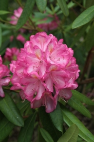Rhododendron 'Professor Hugo de Vries' ('Doncaster' x 'Pink Pearl')