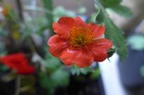 Geum montanum 'Orangeman'